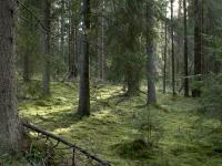 В Парфинском районе четвертый день прочесывают лес в поисках заблудившегося