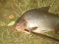 В реке Ловать рыбак поймал бурого паку с человеческими зубами