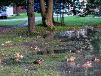 Фотофакт: новгородские утки выживают благодаря приспособляемости