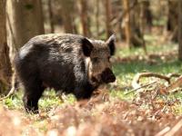 В Новгородской области ради жизни свиней уничтожат тысячи кабанов