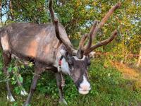В Новгородском университете планируют обучать оленеводству