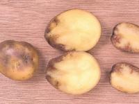 Жители новгородской деревни заподозрили излучение телевышки в болезни картофеля. Специалисты не согласны