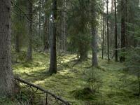 В лесах Хвойнинского района ищут заблудившегося мужчину