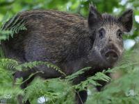 Африканская чума свиней снова вернулась в Новгородский район