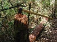 25 деревьев обошлись новгородцу в полмиллиона рублей