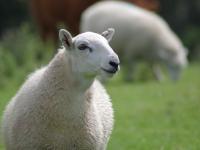 В Новгородской области полицейские поймали похитителя овец