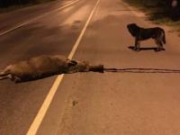 В Новгородском районе водитель насмерть сбил лося