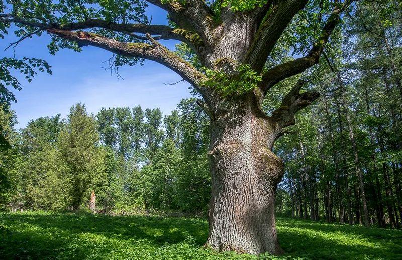 деревья новгородской области фото с названиями редкий, очень заразный
